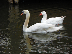 Small picture of Briarcreek Swan